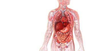 Железы внутренней и внешней секреции и их роль в организме человека