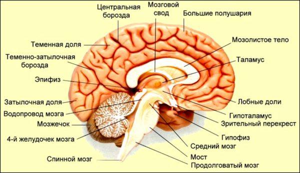 шишковидная железа