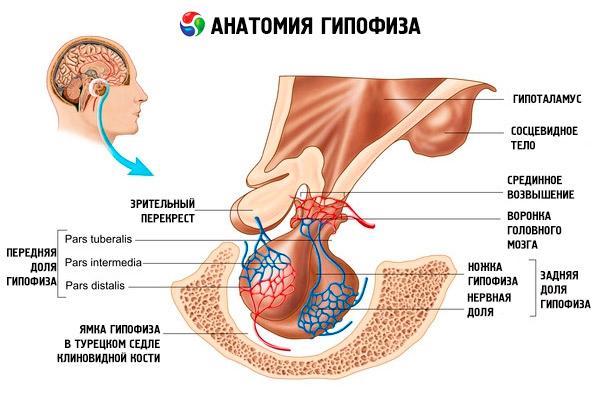 гормоны гипофиза
