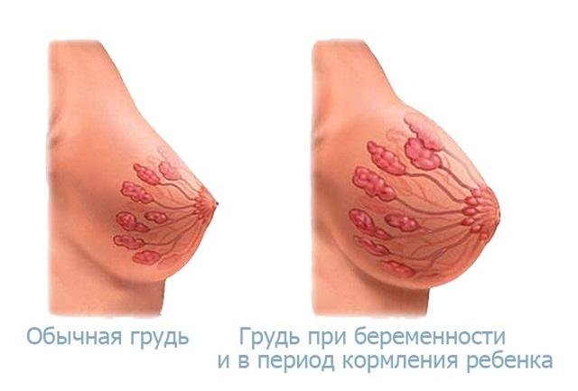 молочные железы при беременности