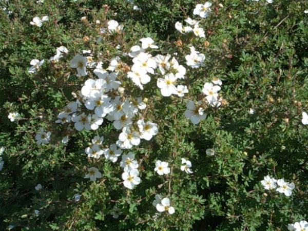 корень лапчатки белой применение при щитовидке