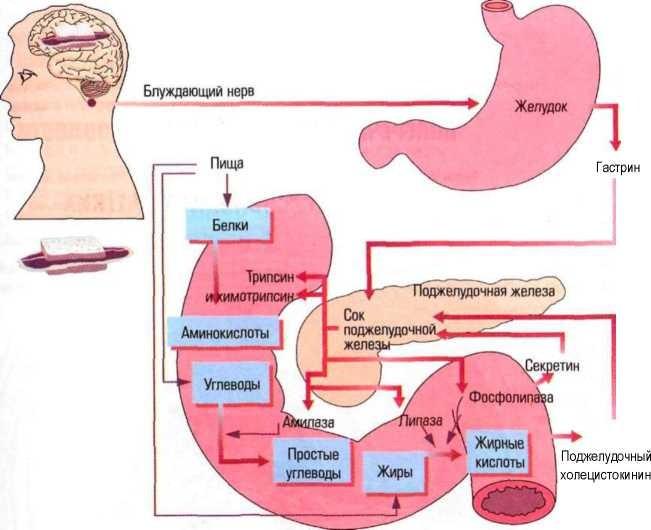 Что сок поджелудочной железы содержит в своём составе?