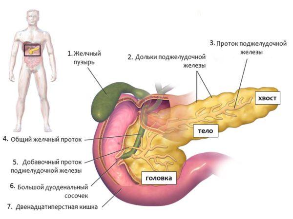 Гистология поджелудочной железы