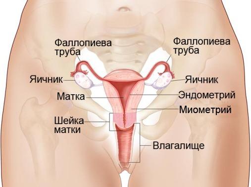 Яичники у женщин