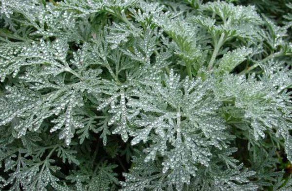 Травы для поджелудочной железы и печени