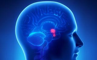 Гормоны гипофиза: строение органа, функции и роль гормонов в организме