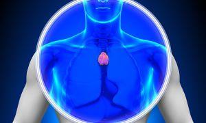 Ключевой орган иммунной системы человека — вилочковая железа