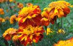 Можно ли вылечить поджелудочную с помощью бархатцов: польза растения и применение