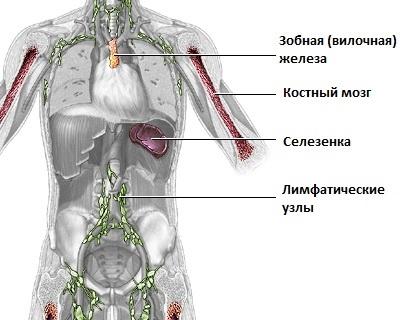 вилочковая железа что это такое