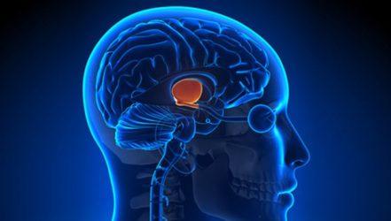 Гипофиз это эндокринный орган