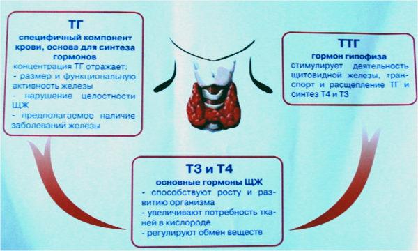 как правильно сдать кровь на гормоны щитовидной железы