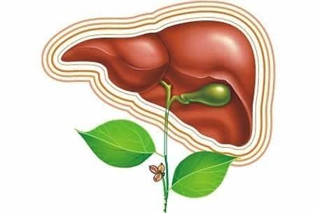 Чем лечить печень и поджелудочную железу: народные средства