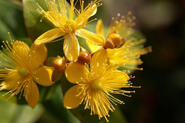 Травы для поджелудочной железы
