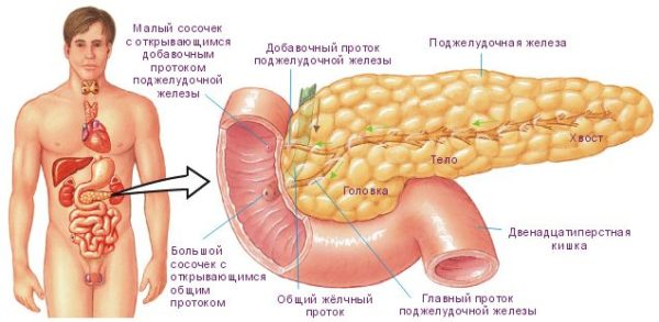 селезенка и поджелудочная железа