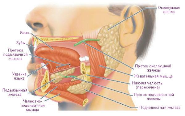 проток околоушной железы